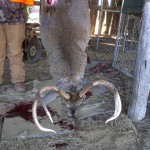 To my knowledge, the heaviest deer ever taken on the club.  Massive buck taken by Benny Owens in 2010.  Weighed in at 205lbs.